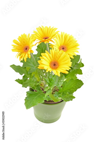 canvas print picture Flower gerbera daisy  in pot.