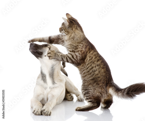 cat beats a paw on a nose of a dog. isolated