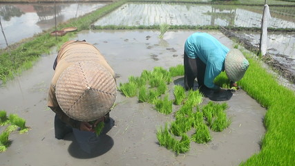 Bali two farmers working on rice field outdoor