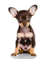 Toy Terrier puppy. isolated on white