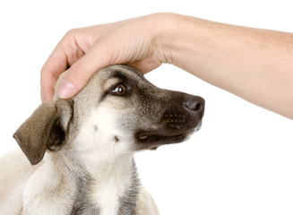 male hand patting dog head. isolated on white