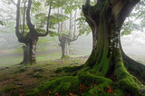 foggy beech forest in spring