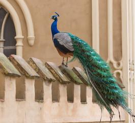 Blauer Pfau im Wörlitzer Park