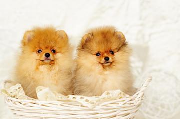 Cute spitz dog puppies sitting in a wicker basket