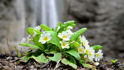 Spring yellow flower Primula on the waterfall background