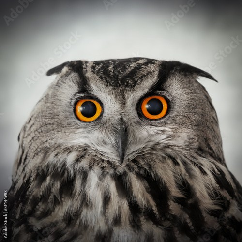 staring owl