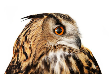 eagle owl on white