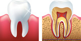 shiny tooth and cutaway photo-realistic vector