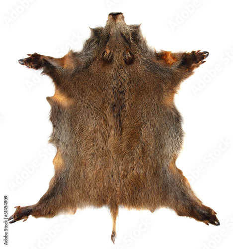 canvas print picture Wild boar (Sus scrofa) skin isolated on a white background.
