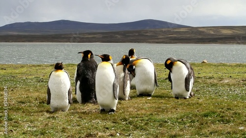 King penguin colony in the evening light