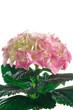 pianta di ortensia