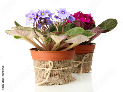 Bright saintpaulias in flowerpots, isolated on white