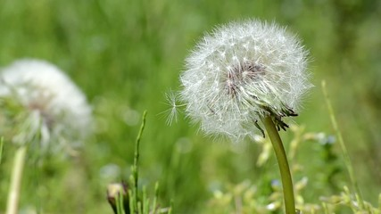 春風に揺れるタンポポの綿毛