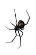 Leinwanddruck Bild - Spider, Red-back underside