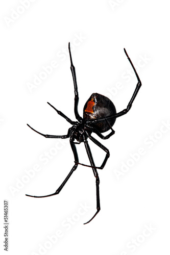 Fototapeta Spider, Red-back underside