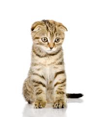 Scottish fold kitten. isolated on white