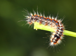 Scary Black - red caterpillar