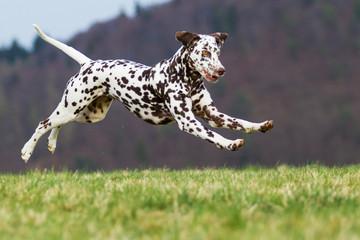 Dalmatiner Hündin