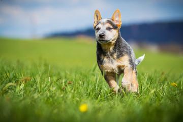 Australian Cattle Dog Welpe