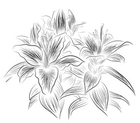 Sketch of lily flowers
