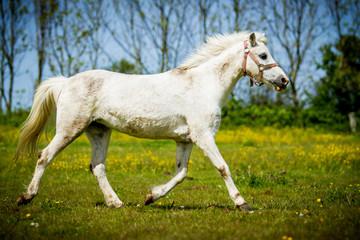 Connemara-Pony in Bewegung