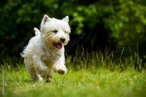 West Highland White Terrier in Bewegung