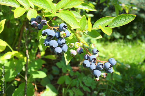 Highbush blueberry plant