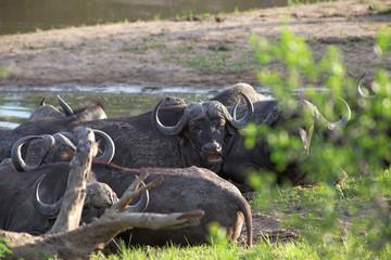 Herd of Cape buffalo, Syncerus caffer