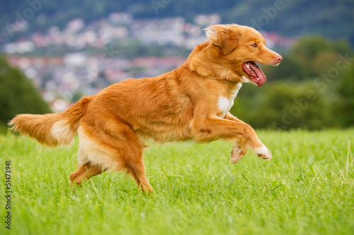 Nova Scotia Duck Tolling Retriever in Bewegung