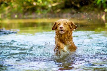 Toller Retriever im Wasser