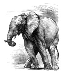 Profil Elephant