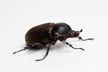 Beetle in White Background