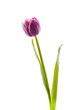 Isolated Purple Tulips.