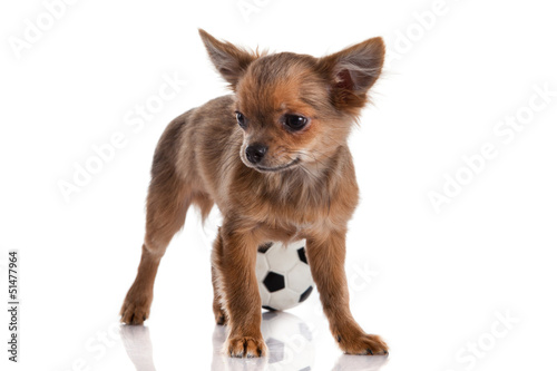 Chihuahua , 5 months old. chihuahua dog isolated on white backgr