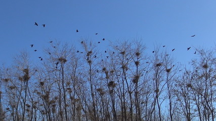 Flying Crows Nestling Nests, Ravens in Flight