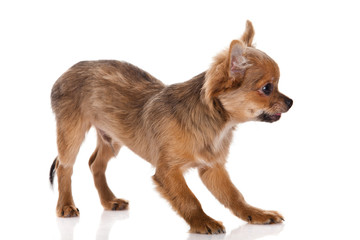 Chihuahua dog on white background.