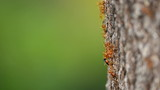 Red ants eat insect on the tree