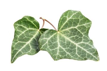 Efeu (Hedera helix) Zwei Blätter