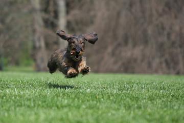 Cane bassotto di corsa