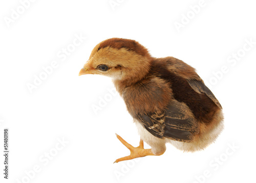 Brown little chicken isolated on the white