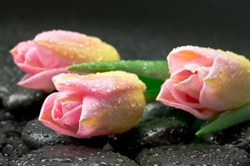 fototapeta różowe tulipany na kamieniach