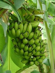 grappe de banane