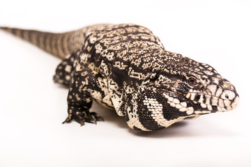 Tegu On white background