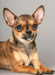 miniature chihuahua dog portrait lying down on  gray background