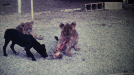Cute Lion Cubs Chewing On Bone-1979 Vintage 8mm film