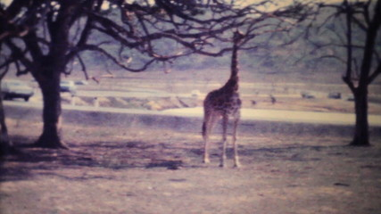 Giraffes Roaming Through Game Park-1979 Vintage 8mm film