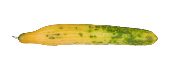 Cucumber turning yellow