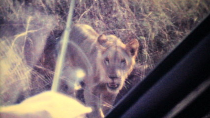 Lions Roaming Through Game Park-1979 Vintage 8mm film