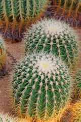 cactus plants in a garden