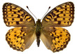Isolated Dark Green Fritillary butterfly